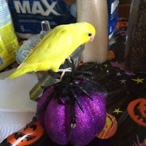 Rare American Yellow Parrotlet Babies with Cage and Food