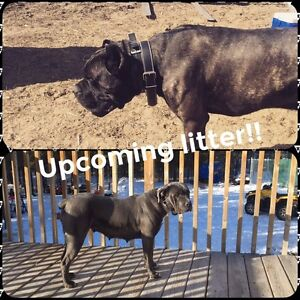 Registered Cane Corso puppies