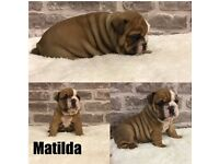 Mr Chubbs line - English Bulldog Puppies - Triple Carriers