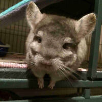 Selling 2 chinchillas with cage, food and toys