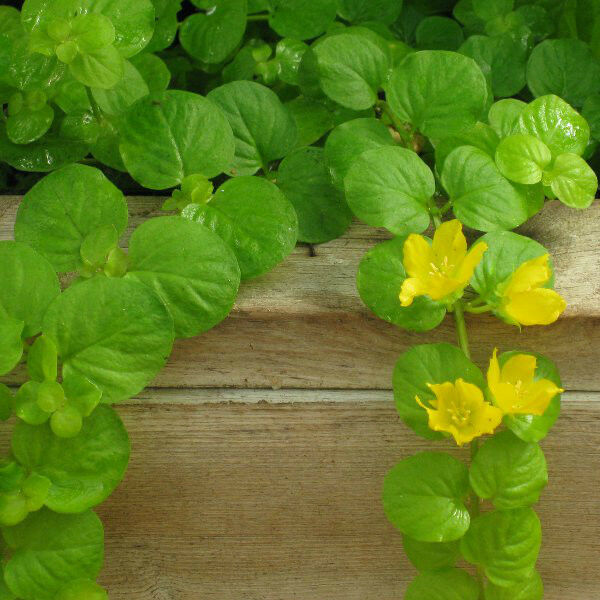 Creeping jenny marginal pond plant bog water plant yellow for Oxygenating pond plants for sale