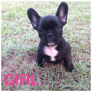 French Bulldog Puppies Caboolture Caboolture Area Preview