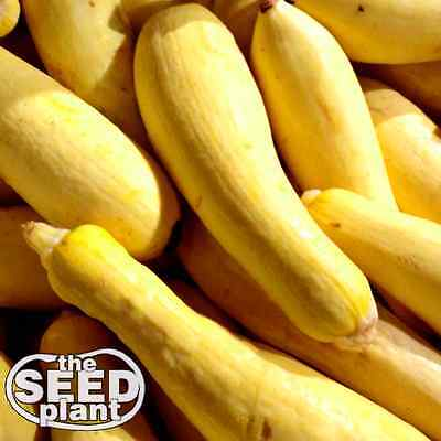 Early Prolific Straightneck Squash Seeds - 25 SEEDS NON-GMO