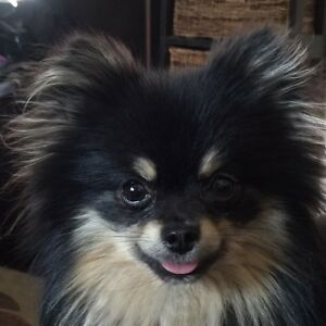 Wanted Black and Tan Pomeranian puppy