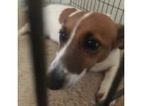 Beautiful Jack russell girl for sale