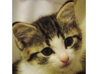 2 female kittens £50 each
