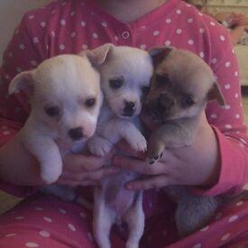 3/4 chihuahua puppy's