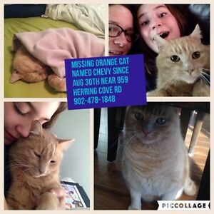 Lost orange cat - Chevy. Herring Cove