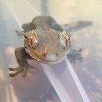 Crested gecko for sale with everything!