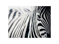 Large Modern Picture/paint of Zebra