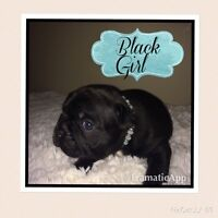 CKC Registered French Bulldog Puppies