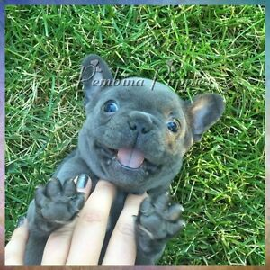 SOLD!!! French Bulldog Puppies! Healthy! Gorgeous!!!