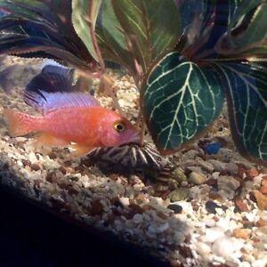 Strawberry African Cichlid