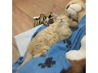 Bengal Crossed moggy kitten