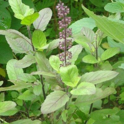 Albahaca sagrada Ocimum tenuiflorum sanctum Tulsi basil 300 semillas - seeds