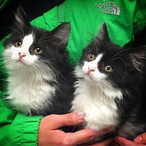 2 chatons de 2 mois et demi ( male et femelle) - adoption refuge