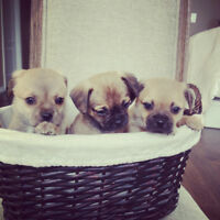 Amazing Pug x Puppies!!