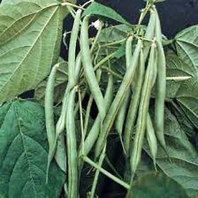 Bean  Blue Lake Bush Green Bean  Heirloom  Organic  20  Seeds  Tasty Beans  Seed