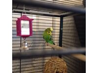 Male budgie with Large cage & accessories