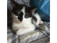 Black and white kitten for sale 8 weeks old