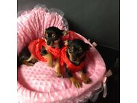 2 chihuahua X Pomeranian girl puppies