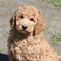 Poodle:  small standard