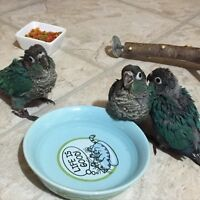 Turquoise (Blue) Green Cheek Conures