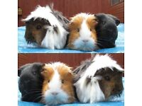 Two female guinea pigs to 5* home