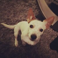 Jack Russell Male looking for a female