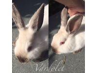 Pure bred pedigreed Californian rabbits