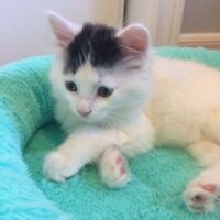 ADORABLE KITTEN FOR SALE THAT LOOKS LIKE A SIBERIAN/PERSIAN MIX
