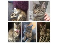 Missing tabby female 6 months old