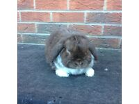 Mini lop boy rabbit