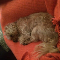 Sweet playful Yorkie/Shih Tzu looking for good home