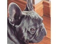 French bulldog kc