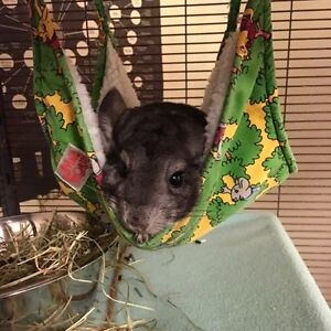 Looking For a Male Chinchilla