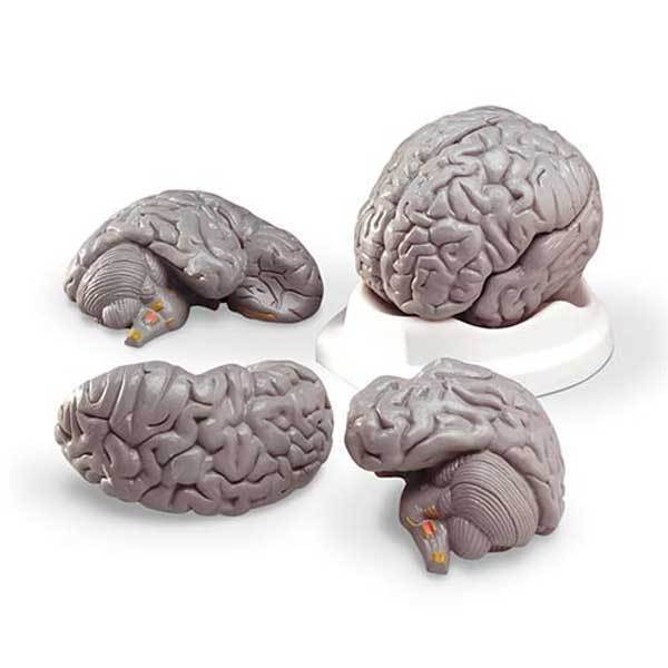 Anatomical Budget Brain Replica Model Great For Hands-on Study of Brain Anatomy