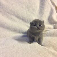 Purebred exotic short haired Persian kittens