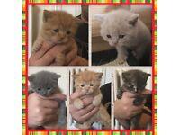 BSH GCCF reg kittens £525