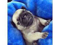Beautiful pug puppies, fawn and black full pedigree ** two left