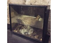 Taxidermy american grouse