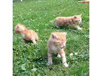 Ginger Male 1/2 Maine Coon Kittens