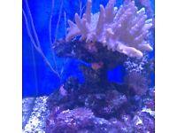 Large finger coral on live rock, marine tank