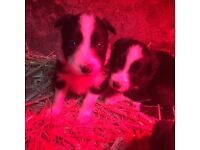 Border collie puppies pups for sale