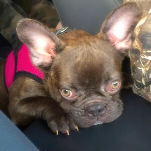 French Bulldogs-Breeding Stock For Sale