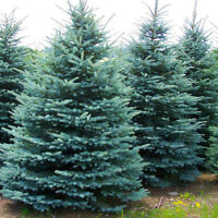 Baby Blue Spruce trees for sale