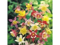 3 AQUILEGIA MCKANA HYBRID PERENNIAL PLANTS FOR £6.00 (INCLUDING POSTAGE AND PACKING)
