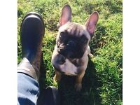 STUNNING MINIATURE FRENCHBULLDOG GIRL