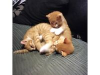 3 gorgeous Ginger and White Kittens for sale