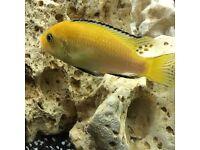 Yellow lab cichlid tropical fish